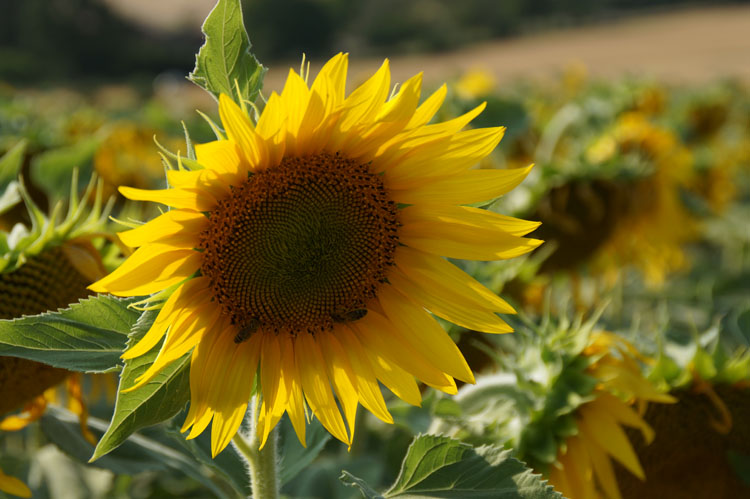 sunflower_180_003